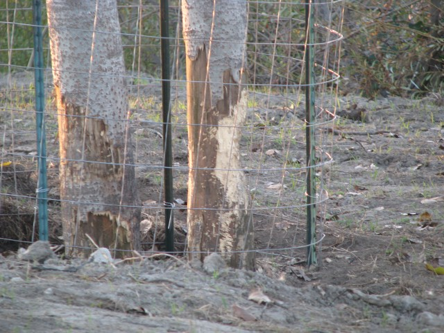 Beaver activity at Big Break - Photo by Megan Romick