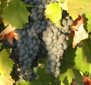 oakley grapes