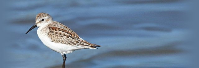 C__Data_Users_DefApps_AppData_INTERNETEXPLORER_Temp_Saved Images_Western_Sandpiper_3000